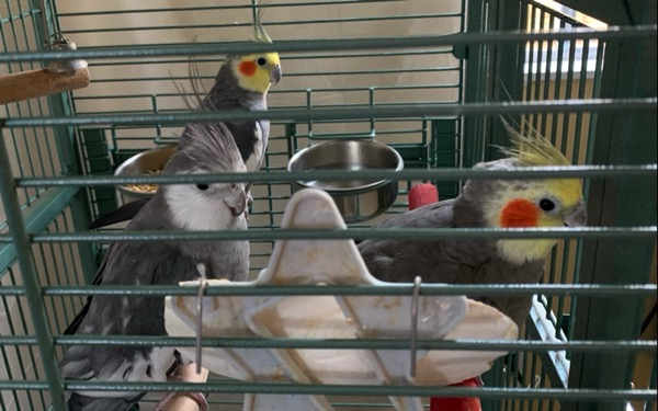 A view of the inside of the cage. A cuttlebone holder is in front. Three happy cockatiels look at the camera.