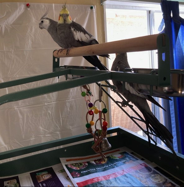 Two birds sit on the top perch. The other bird is sitting on the ladder.